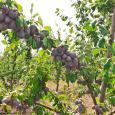 Фото слив агрофирмы Сады Бахчисарая